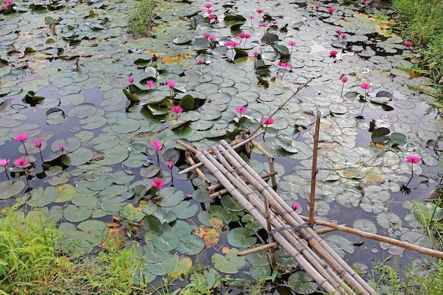 Lotosowy staw i stary mały bambusowy drewno most