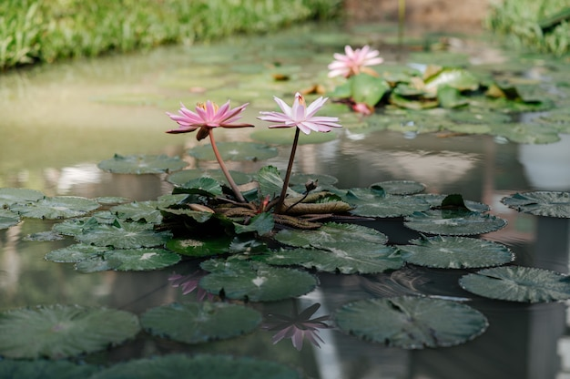 Lotosowy staw, który kwitnie rano