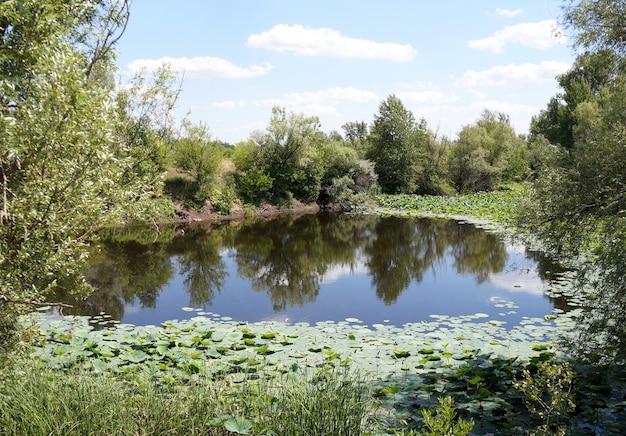Lotosy na równinie zalewowej rzeki wołgi w obwodzie wołgogradzkim w rosji