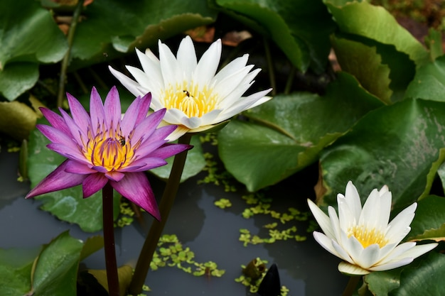 Lotus i pszczoła w wodzie w selekcyjnej ostrości