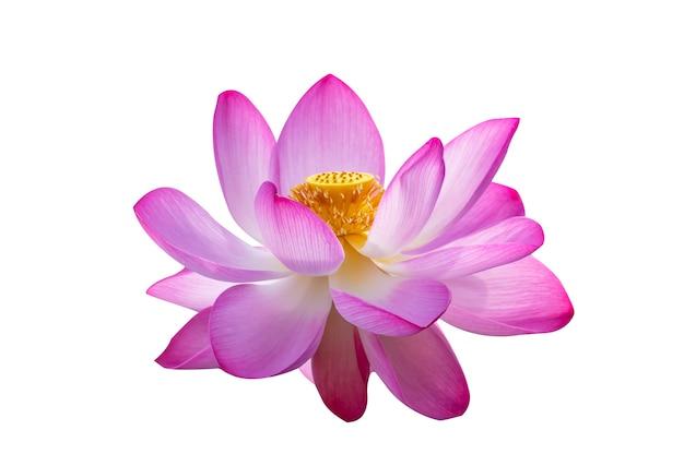 Lotus pink isolate białe kwiaty kwitną