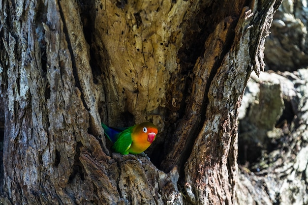 Lovebird w pobliżu gniazda. serengeti, tanzania.