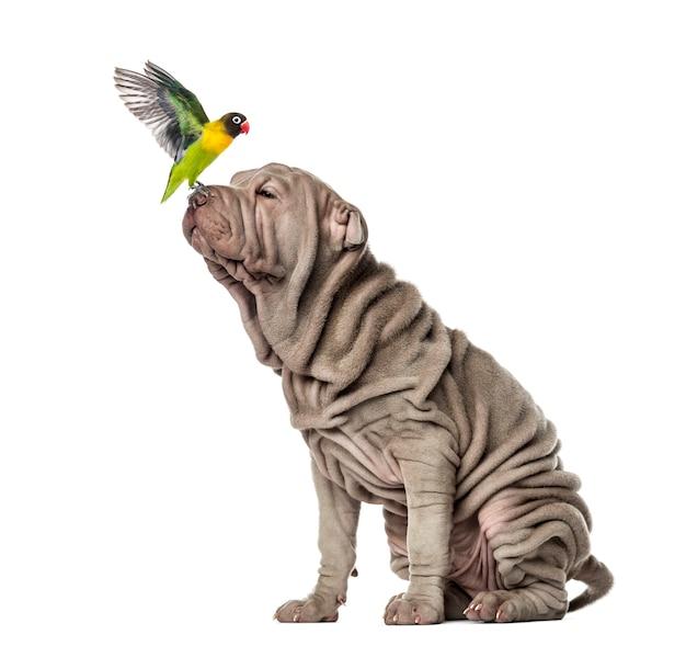 Lovebird yellow collared siedzi na nosie szczeniaka shar pei, na białym tle