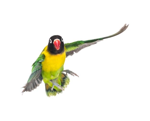 Lovebird żółto-collared latające, na białym tle