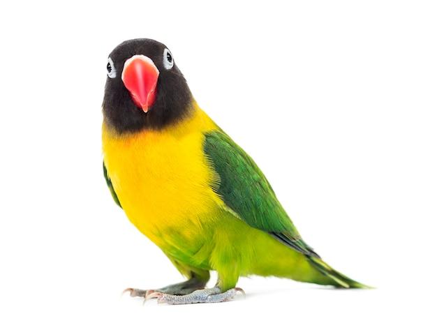 Lovebird żółto-collared oglądanie aparatu, na białym tle