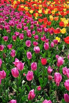 Łóżko tulipanów