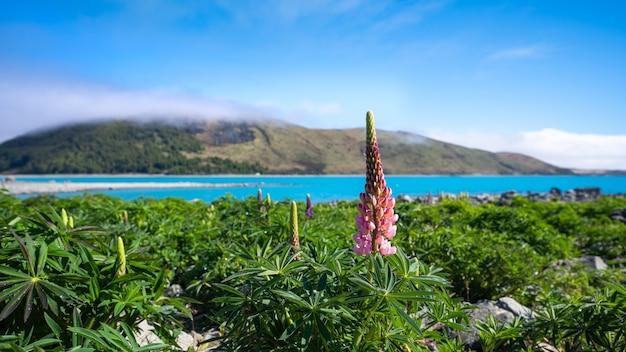 Łubin kwiat w nowej zelandii
