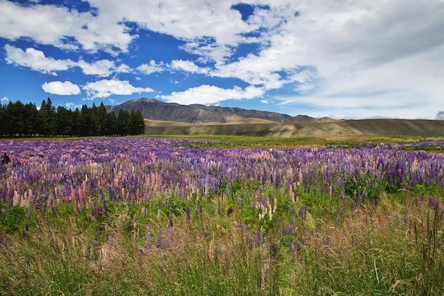 Łubin kwitnie w nowa zelandia