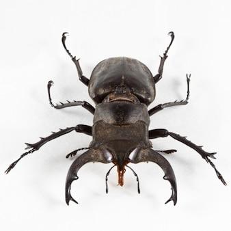 Lucanus formosanus beetle