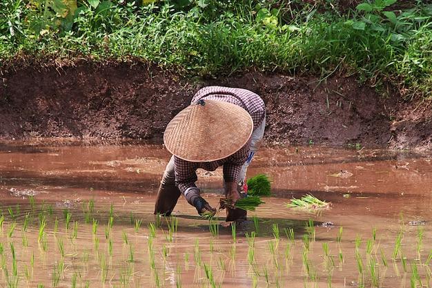 Ludzie na polu ryżu