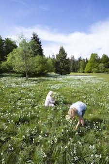 Ludzie zbierający kwiaty narcyzów wiosną w cauvery we francji