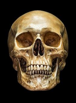 Ludzka czaszka z przodu na białym tle na czarnym tle