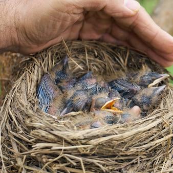 Ludzka ręka osłania gniazdo ze śpiącymi pisklętami