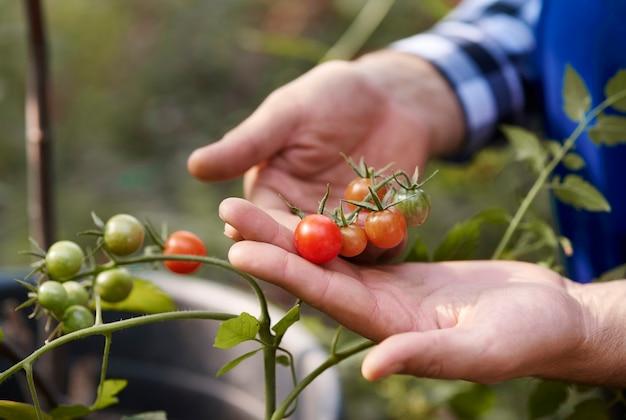Ludzka ręka trzyma pomidory w ogrodzie warzywnym