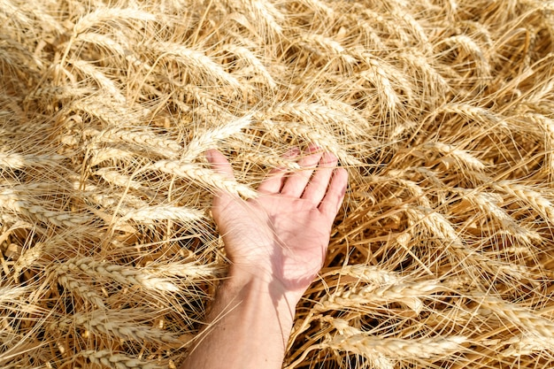 Ludzki ręka dotyk trzyma pszeniczną słomę na śródpolnym lata żniwa słonecznym dniu jaskrawym