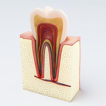 Ludzki ząb cyfrowej ilustracja zębu przekrój poprzeczny w odosobnionym. renderowania 3d
