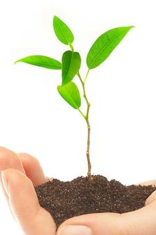 Ludzkie ręce trzymają i zachowują młode rośliny