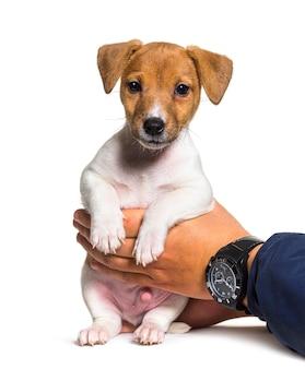 Ludzkie ręce trzymając psa szczeniaka jack russel terrier w wieku dwóch miesięcy