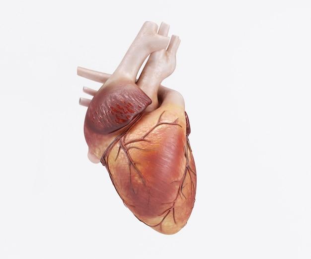Ludzkie Serce Darmowe Zdjęcia