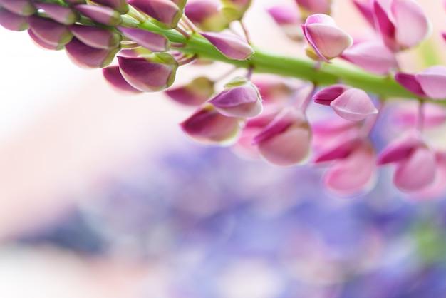 Lupines piękni kwiaty na zamazanym bokeh tle