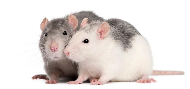 Łuskowaty szczur przed białym tłem