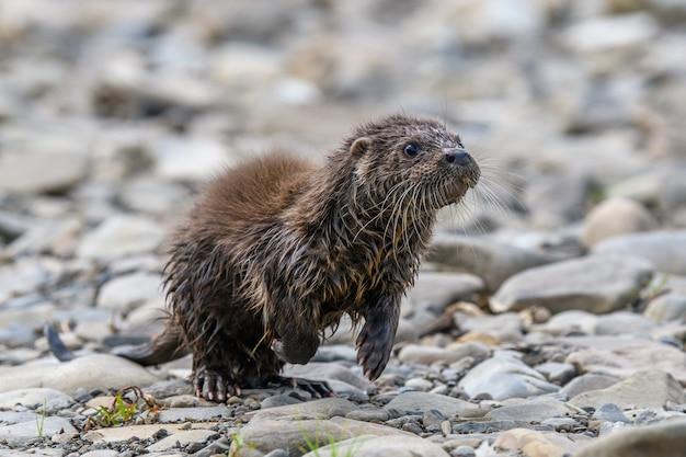 Lutra w naturalnym środowisku. portret drapieżnika wody. zwierzę z rzeki. scena dzikiej przyrody