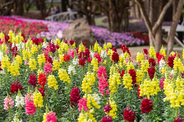 Lwia paszcza kwiaty w ogrodzie w wiosenny dzień. antirrhinum majus.