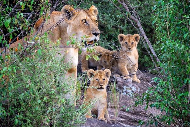 Lwiątko afrykańskie, (panthera leo), park narodowy kenii, afryka