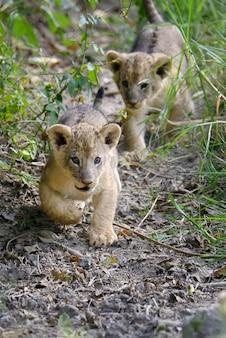 Lwiątko afrykańskie w parku narodowym kenii, afryka