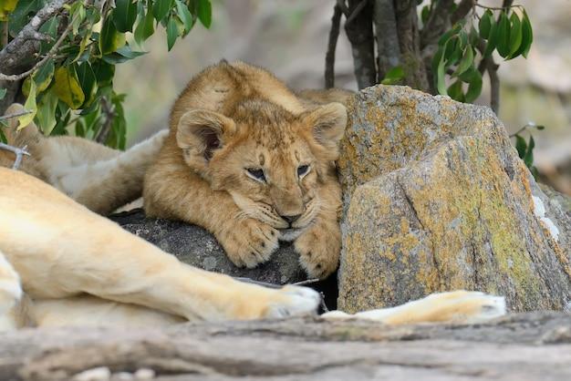 Lwiątko afrykańskie