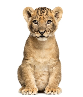 Lwiątko siedzi patrząc w kamerę na białym tle