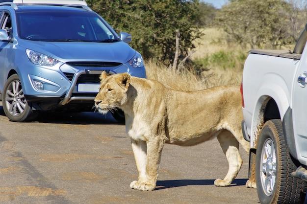 Lwica i samochody na drodze