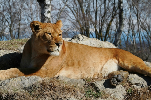 Lwica na safari w zoo