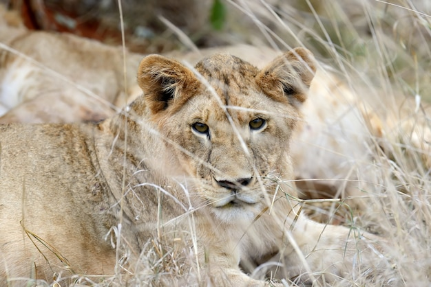 Lwica na sawannie