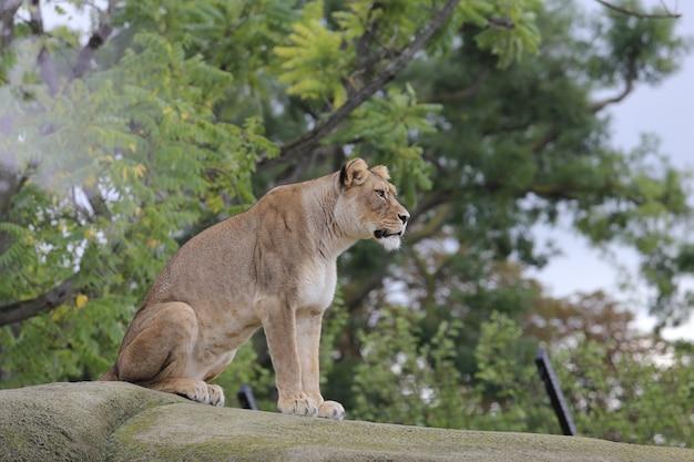 Lwica siedzi na kamieniu