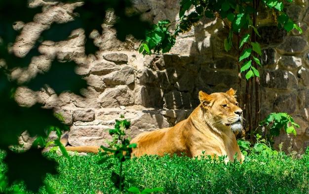 Lwica w trawie.