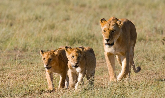 Lwica z młodymi na sawannie