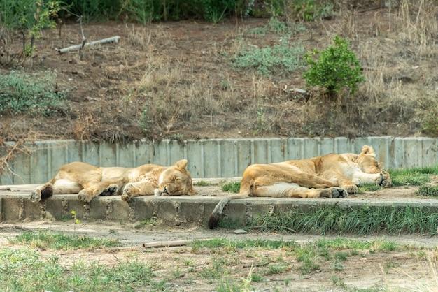 Lwice w niewoli odpoczywają na słońcu w zoo.