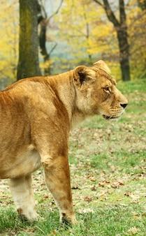 Lwice w safari zoo