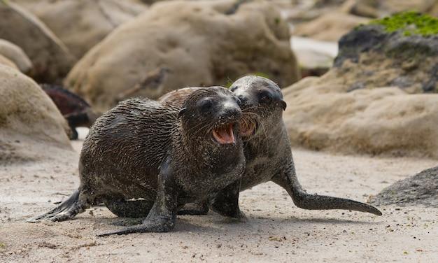 Lwy morskie bawią się ze sobą