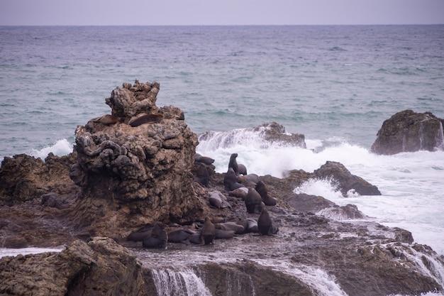 Lwy morskie na skałach z rozbijającymi się falami