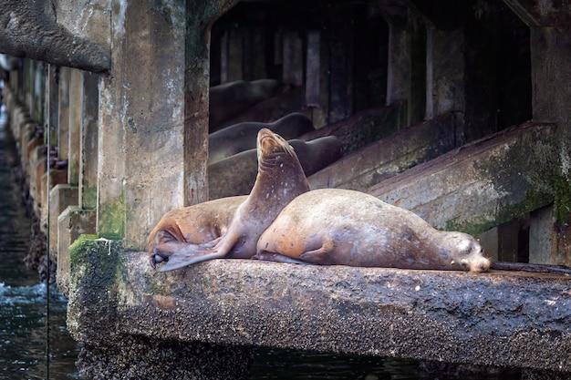 Lwy morskie odpoczywają na kamieniu w monterey w kalifornii