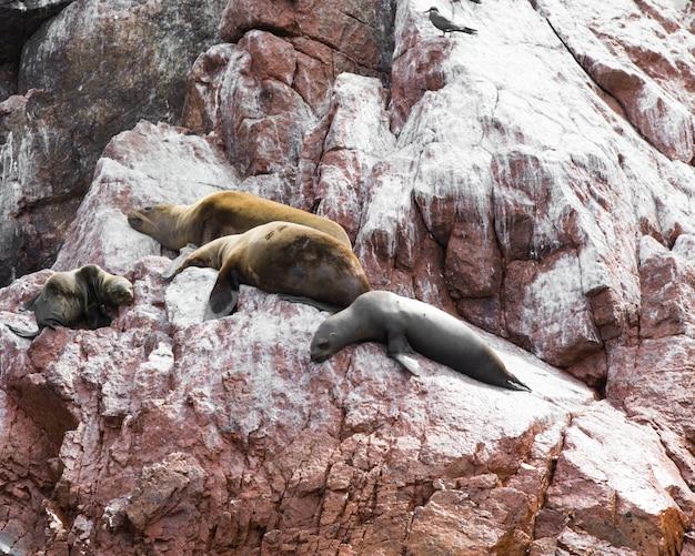 Lwy morskie walczą o skałę na wybrzeżu peruwiańskim na wyspach ballestas w peru