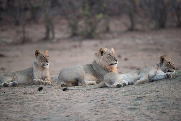 Lwy odpoczywa na ziemi z rozmytym tłem
