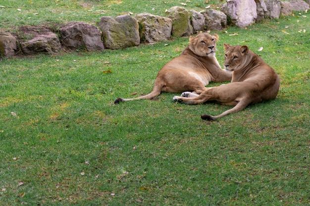 Lwy odpoczywające na trawie, przyroda, dzikie zwierzęta.