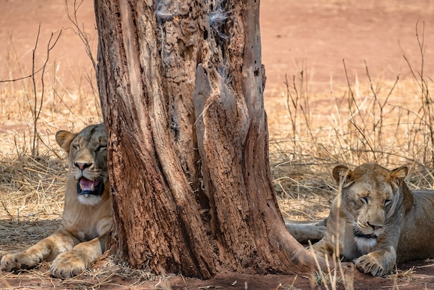 Lwy siedzące obok starego drzewa na trawiastym polu