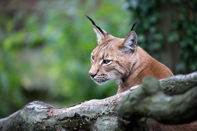 Lynx a portret