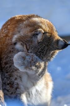 Lynx umyć się na śniegu. scena dzikiej przyrody z zimowej natury. dzikie zwierzę w naturalnym środowisku