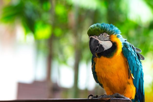 Macore bird, ma core bird urocza i sympatyczna papuga z amazońskiej dżungli.