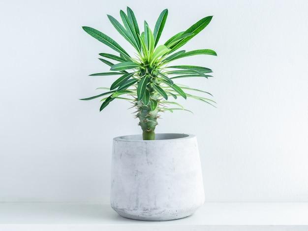 Madagaskar palmowy kaktus w nowoczesnej geometrycznej donicy cementowej na białej drewnianej półce na białym tle